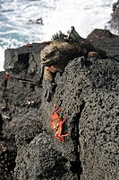 Marine iguana Amblyrhynchus cristatus and Sally lightfoot crab Grapsus grapsus on rock, Sombrero Chino island, Galapagos