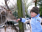 sika deer Cervus nippon, little boy feeding deer in winter