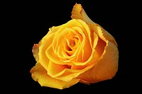 single flower of a yellow rose