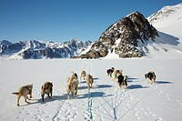 Greenland Dog Canis lupus f. familiaris, dog sled in winter landscape, Greenland, Ostgroenland, Tunu, Kalaallit Nunaat, Liverpool Land, Lillefjord