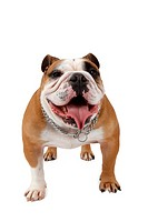 English bulldog Canis lupus f. familiaris, standing and panting, front view