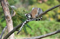 Ring-tailed Lemur Lemur catta in a tree, Near Threatened, Madagascar