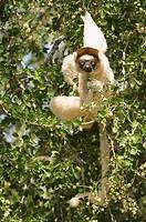 Verreaux´s Sifaka Propithecus verreauxi in a tree, Berenty nature reserve, Madagascar