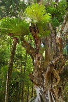 Stag´s Horn Fern, Stags Horn Fern, Staghorn fern Platycerium spec., on an ancient Weeping fig or Benjamin´s Fig tree, Ficus benjamina, Australia, Quee...