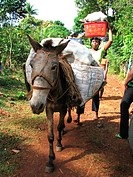 local traiders with fruits and other goods on their heads and a donkey on foot in rural area on the way to the market of Jérémie, Haiti, Grande Anse, ...