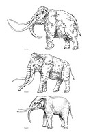 Elephant evolution, artwork. These three species from the elephant evolutionary tree went extinct in the Pleistocene 2 million years ago to 10,000 yea...
