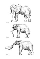 Elephant evolution, artwork. The two modern_day elephant species are Loxodonta top, the African elephant and Elephas centre, the Asian elephant. At bo...
