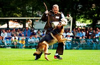 Dog Attack _ Trainer works with a german shephard