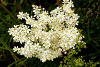 Dropwort Filipendula vulgaris, also known as Meadowsweet, flowering in a pasture in Romania.