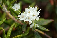 Labrador Tea-Ledum groenlandicum- during the summer months in the White Mountains, New Hampshire USA  Notes: This plant can be found on the rocky slop...