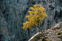Cretan Maple Acer sempervirens with spring foliage, in the White Mountains, Crete.