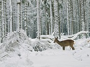roe deer Capreolus capreolus, in winter forest, Germany, Baden_Wuerttemberg