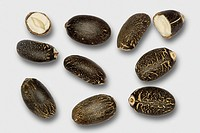Jatropha curcas seeds. Oil extracted from the seeds of the Barbados nut plant Jatropha curcas is used as a biofuel, and can be further refined into bi...