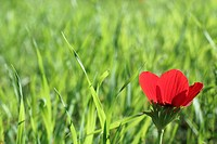 Red poppy anemone Anemone coronaria flower in a field. Photographed in Israel in February.