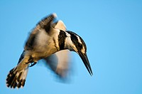 Pied kingfisher in flight. The pied kingfisher Ceryle rudis is found in much of Africa, India, the Middle East and South_East Asia. Like other kingfis...
