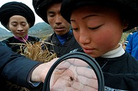 Spiders as biological pest control. Magnifying glass being used to study a spider, with farm workers looking on. This research, by Professor Yan Hengm...
