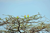 Lilian´s lovebirds in a tree. Lilian´s lovebirds Agapornis lilianae are small African parrots that are endemic to Malawi, Mozambique, Tanzania, Zambia...