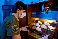 Andean Condor Conservation Project. Worker checking Andean condor Vultur gryphus eggs that are being incubated as part of the Andean Condor Conservati...