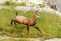 chamois Rupicapra rupicapra, fawn running down a grassy acclivity, Alps