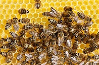 honey bee, hive bee Apis mellifera mellifera, honeycomb with bees, Germany, Rhineland_Palatinate