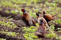 common pheasant, Caucasus Pheasant, Caucasian Pheasant Phasianus colchicus, gang rape, many males and female, Germany