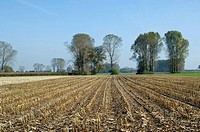 Indian corn, maize Zea mays, stubble field, Germany, Bavaria