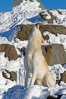 Siberian Husky Canis lupus f. familiaris, 5_year_old male dog sitting on a rock and howling with its head upraised