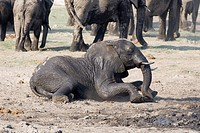 African Bush Elephant Loxodonta africana taking a mud bath in Chobe River, Chobe National Park, Botswana, Africa