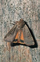 lesser yellow underwing Noctua comes, sitting on wood, Germany