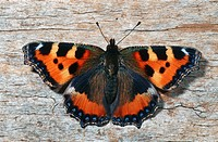 small tortoiseshell Aglais urticae, sittin on bark, Germany