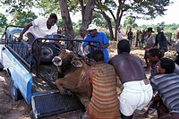 Unloading of a bullock at cattle transport Namibia