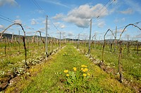sleepydick and dandelion in a vineyard, Germany, Rhineland_Palatinate, Palatinate
