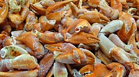 rock crabs, edible crabs Cancridae, arms, Spain, Balearen, Majorca, Alcudia