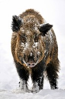 wild boar, pig, wild boar Sus scrofa, tusker standing in the snow, Germany, North Rhine_Westphalia, Sauerland