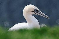 Northern Gannet Morus bassanus, Sula bassana