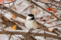 Black_capped Chickadee Poecile atricapilla, adult, snow, fallcolors, Grand Teton National Park, Wyoming, USA