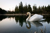 Mute Swan (Cygnus olor), Isar Reservoir near Kruen, Bavaria, Germany, Europe