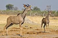 Greater Kudu (Tragelaphus strepsiceros), Savuti, Chobe National Park, Botswana, Africa