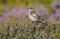 Young female African Stonechat (Saxicola torquatus)