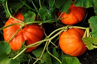Ripe Pumpkins Cucurbita pepo on the plant