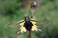 Owlfly (Libelloides coccajus), province of Bolzano-Bozen, Italy, Europe