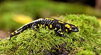 Fire Salamander / Salamandra salamandra