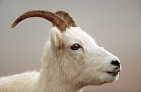 Dall Sheep _ female _ portrait / Ovis dalli