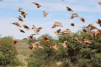 Burchell`s Sandgrouses _ flock flying / Pterocles burchelli
