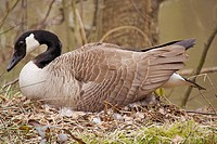 Canada goose on nest / Branta canadensis