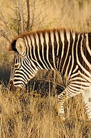 Zebra in the African savannah, South Africa