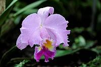 Orchid (Brassolaeliocattleya spec.)