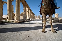 Half of a camel with his forelegs only and seen from below, standing at the archeological and UNESCO world heritage site of the greco-roman ruins of t...