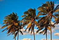 Three palm tree tops in a row, set against blue sky