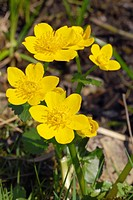 Kingcup or Marsh Marigold (Caltha palustris), with yellow flowers